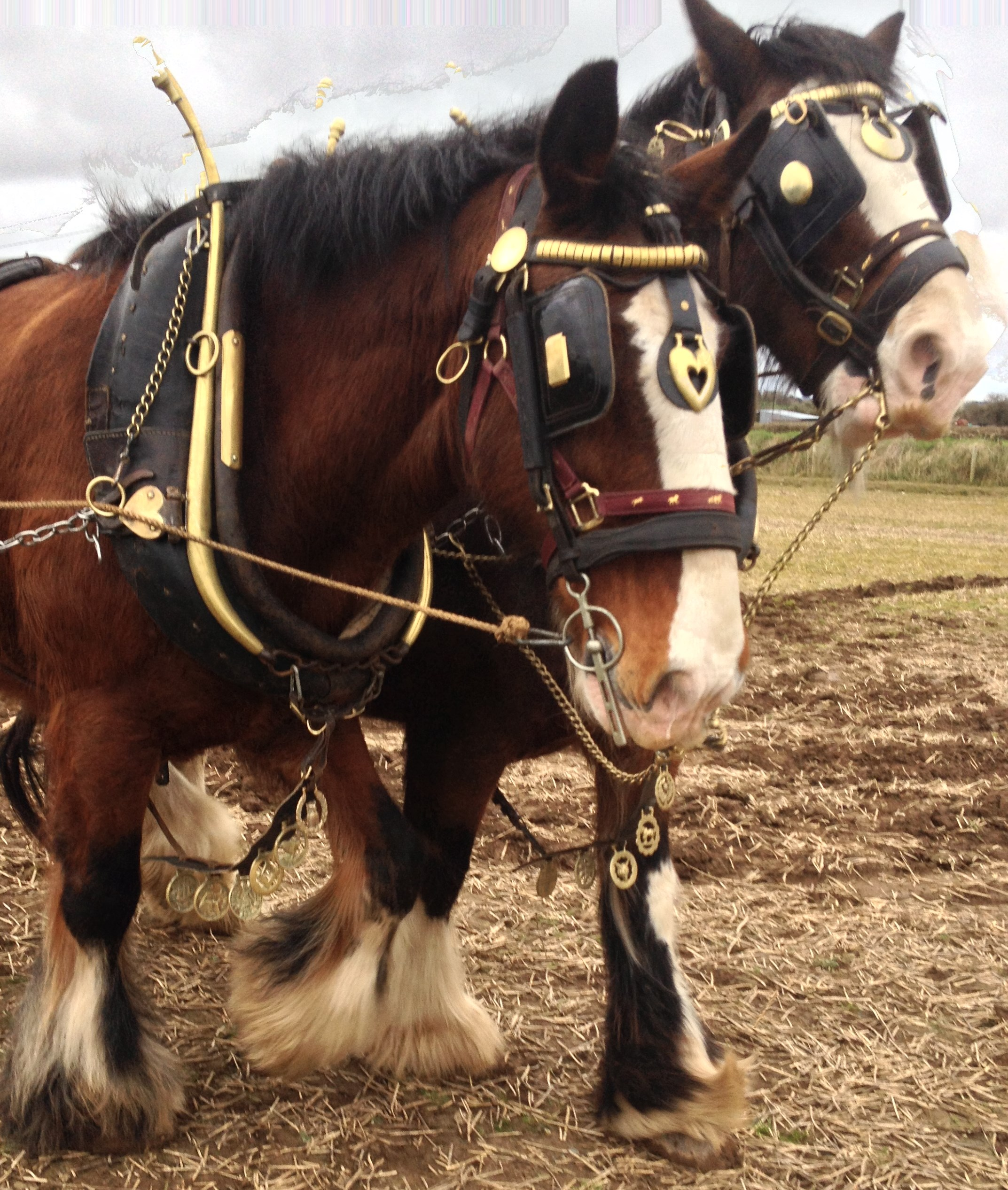 two-clydesdale-horses-in-full-ploughing-harness